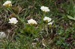 Noccaea montana (L.) F.K.Mey. subsp. montana