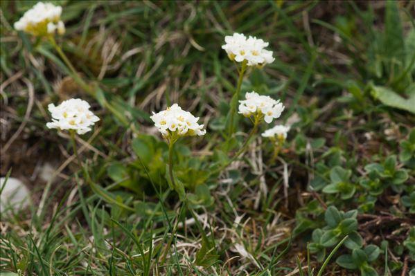 Noccaea montana (L.) F.K.Mey.