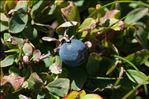 Vaccinium uliginosum subsp. microphyllum (Lange) Tolm.