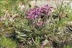 Pedicularis rosea subsp. allionii (Rchb.f.) Arcang.