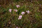 Photo 3/3 Armeria maritima Willd.