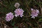 Armeria maritima Willd.