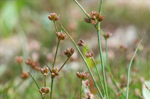 Juncus bulbosus L. subsp. bulbosus
