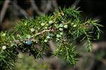 Juniperus communis L. subsp. communis