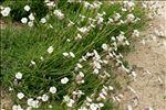 Silene uniflora Roth