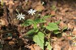 Stellaria nemorum subsp. montana (Pierrat) Berher