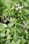 Photo 4/4 Cardamine amara L.