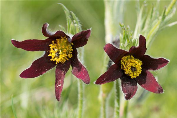 Anemone rubra var. serotina (H.J.Coste) B.Bock