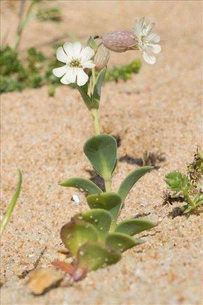 Silene uniflora subsp. thorei (Dufour) Jalás