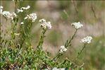 Photo 3/9 Achillea erba-rotta All. subsp. erba-rotta