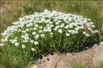 Photo 2/9 Achillea erba-rotta All. subsp. erba-rotta