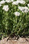 Photo 1/9 Achillea erba-rotta All. subsp. erba-rotta
