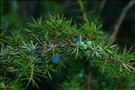 Photo 1/1 Juniperus communis L.