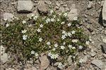 Minuartia rupestris (Scop.) Schinz & Thell. subsp. rupestris