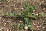 Kickxia spuria subsp. integrifolia (Brot.) R.Fern.