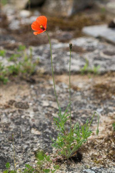 Papaver dubium L. subsp. dubium