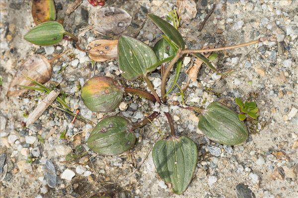 Ranunculus parnassifolius subsp. heterocarpus Küpfer