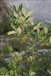 Salix laggeri Wimm.