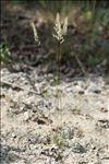 Koeleria macrantha (Ledeb.) Schult.