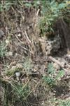 Photo 2/9 Koeleria vallesiana (Honck.) Gaudin