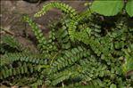 Photo 2/2 Asplenium trichomanes subsp. quadrivalens D.E.Mey.