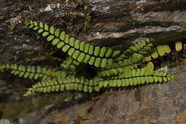 Asplenium trichomanes subsp. quadrivalens D.E.Mey.
