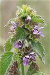 Ballota nigra subsp. foetida (Vis.) Hayek