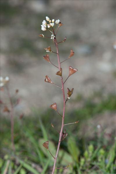 Capsella bursa-pastoris subsp. rubella (Reut.) Hobk.