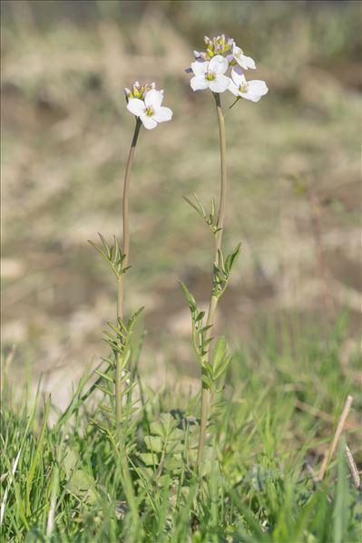 Cardamine pratensis L. subsp. pratensis