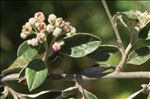 Cotoneaster franchetii Bois