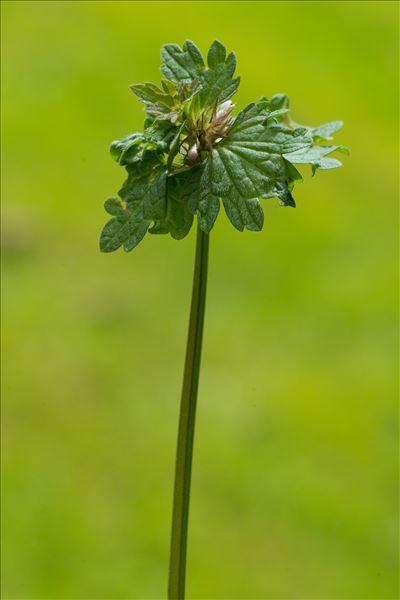 Lamium hybridum Vill.