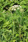 Photo 1/1 Heracleum sphondylium L. subsp. sphondylium
