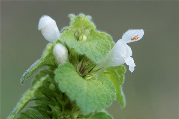 Lamium purpureum L.