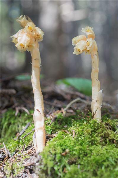 Monotropa hypopitys subsp. hypophegea (Wallr.) Holmboe