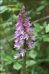 Orchis x hybrida Boenn. ex Rchb.