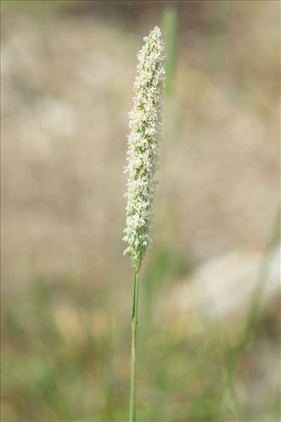Phleum nodosum L.