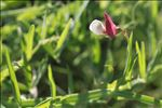 Photo 1/2 Lathyrus hirsutus L.