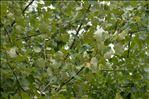 Populus x canescens (Aiton) Sm.