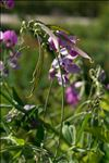 Photo 4/5 Lathyrus latifolius L.