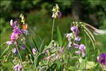 Photo 1/1 Lathyrus latifolius L.