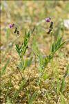 Lathyrus linifolius (Reichard) Bässler