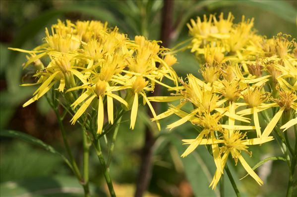 Senecio ovatus (P.Gaertn., B.Mey. & Scherb.) Willd. subsp. ovatus