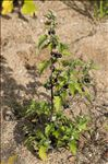 Solanum nigrum subsp. schultesii (Opiz) Wessely