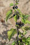 Photo 2/3 Solanum nigrum subsp. schultesii (Opiz) Wessely