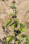Photo 1/3 Solanum nigrum subsp. schultesii (Opiz) Wessely