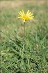 Tragopogon pratensis subsp. orientalis (L.) Celak.