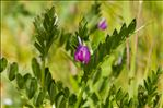 Photo 2/2 Vicia sativa L.