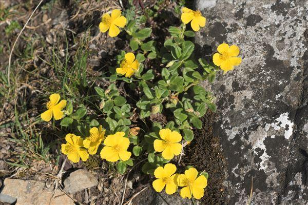 Helianthemum oelandicum (L.) Dum.Cours.