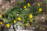 Helianthemum oelandicum (L.) Dum.Cours.