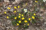 Photo 1/1 Helianthemum oelandicum (L.) Dum.Cours.